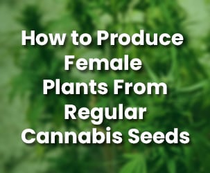 How to Produce Female Plants From Regular Cannabis Seeds