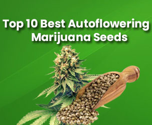 Top 10 Best Autoflowering Marijuana Seeds